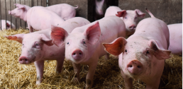 Porc bio d'Occitanie : une petite filière aux besoins importants 11
